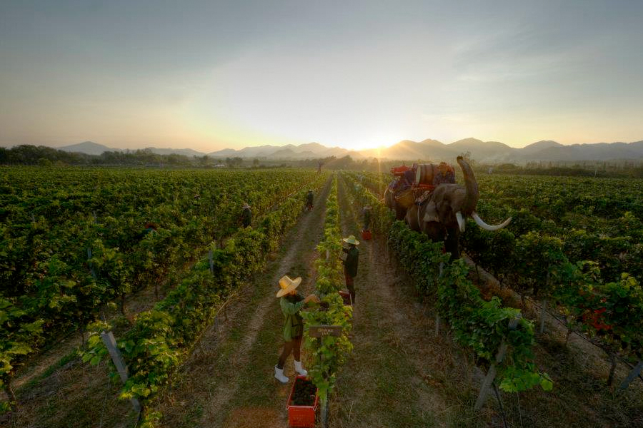 Monsoon Valley Vineyard 華欣葡萄園酒莊